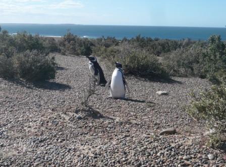 Penguins of Punta Tombo . Patagonia