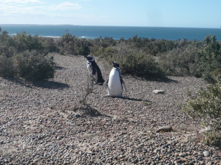 Penguins of Punta Tombo . Patagonia