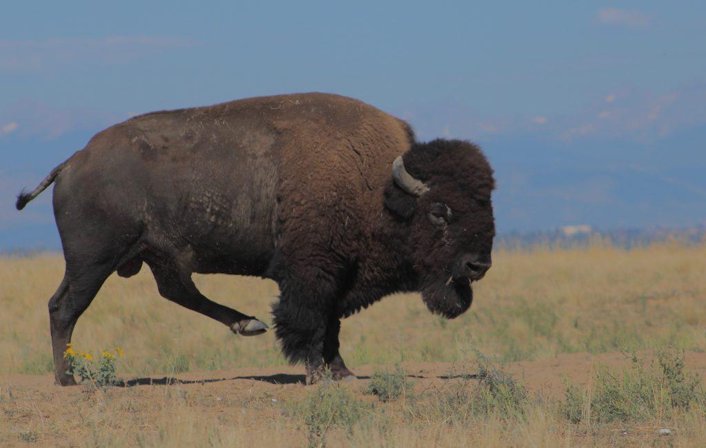 Bison at Rocky Mountain Arsenal